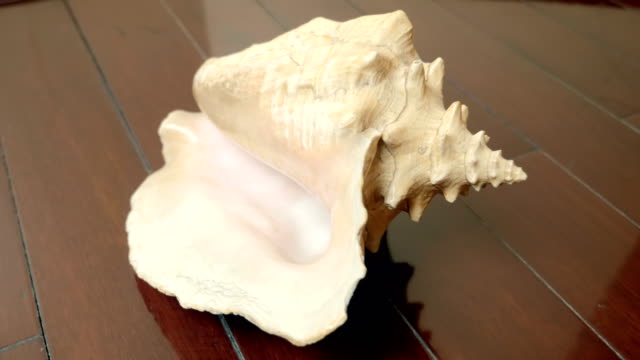 vídeos de stock e filmes b-roll de huge beautiful sea shell on a lacquered mahogany floor - bugio