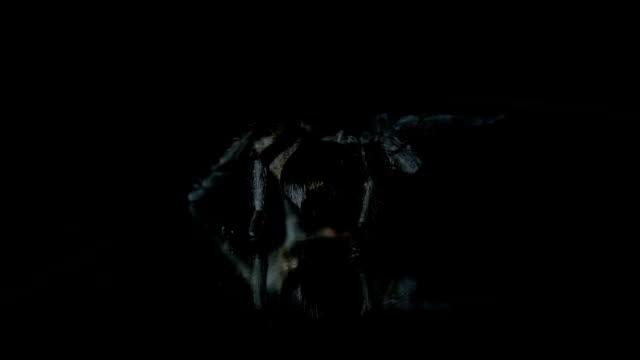 Riesige Schwarze Vogelspinne, Slow-motion – Video