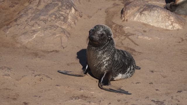 huge colony of brown fur seal in Cape Cross, Namibia, Africa huge colony of brown fur seal (Arctocephalus pusillus) in Cape Cross, Namibia, Africa namibia stock videos & royalty-free footage