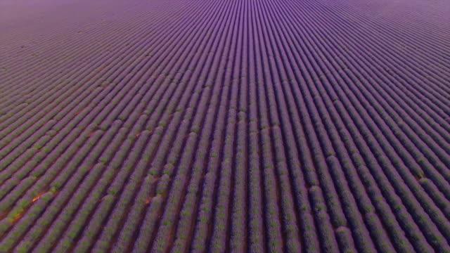 AERIAL: Huge field of beautiful violet lavender in France video