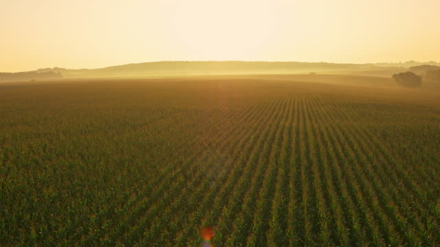 AERIAL Huge field of corn at dawn Aerial shot of a drone flying above corn field at dawn. Also available in 4K resolution. monoculture stock videos & royalty-free footage
