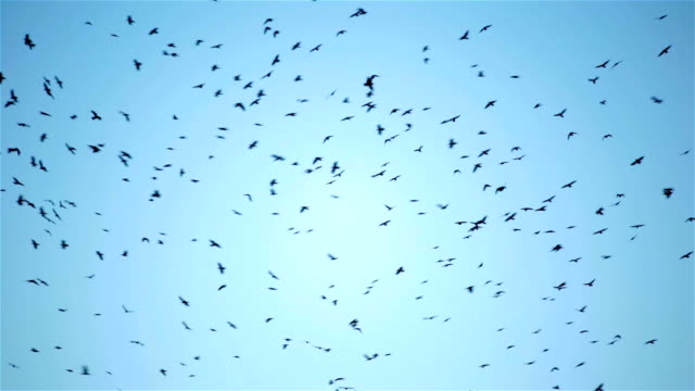 Huge flock of crow bird flying circling in the sky video