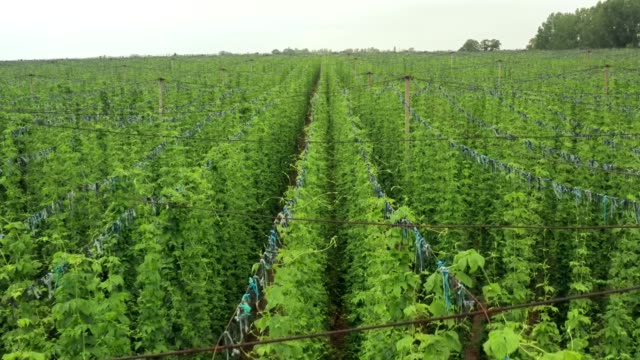 A huge Hop plantation grown for Beer production