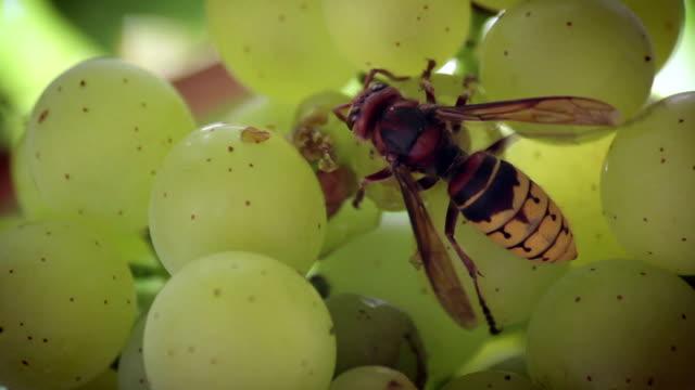 riesige hornisse essen trauben - hornisse stock-videos und b-roll-filmmaterial