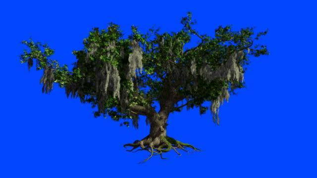 en stor live-oak svajar i vinden. blå skärm alpha. - gren plantdel bildbanksvideor och videomaterial från bakom kulisserna