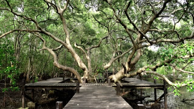 a huge mangrove field of thung prong thong forest in rayong at thailand - cbd video stock e b–roll