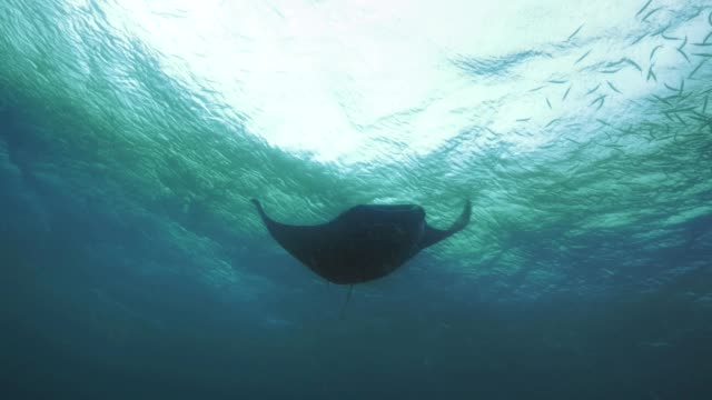 Huge Manta ray swims overhead, Palau video