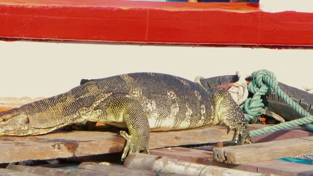 A huge monitor lizard wipes its face after eating on a pier near the boat and dives from the pier into the river