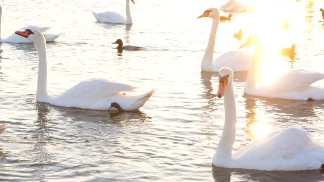 Huge number of swans and ducks in lake
