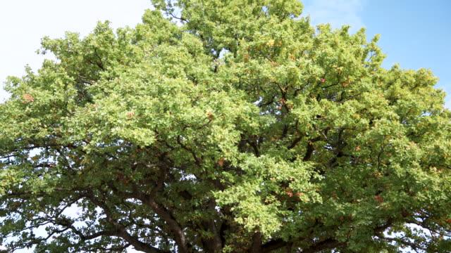 huge old green oak on sky background - дуб стоковые видео и кадры b-roll