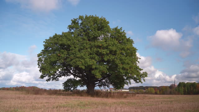 Huge old green oak on sky background