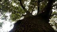 istock huge old tree with a green crown. slow camera movement along a tree trunk 1153162588