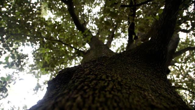 vídeos y material grabado en eventos de stock de enorme árbol viejo con una corona verde. movimiento lento de la cámara a lo largo de un tronco de árbol - árbol