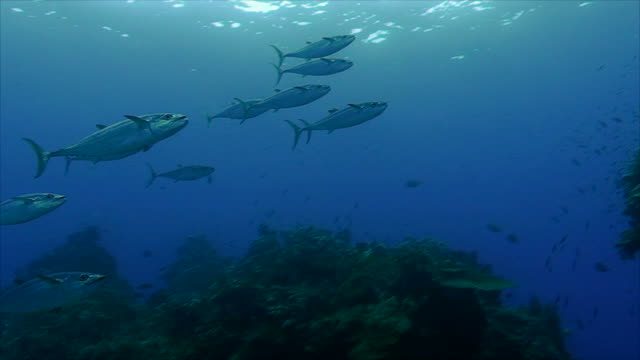 huge school of tuna at coral reef, red sea swarm over coral reef, red sea, dogtooth tuna tuna seafood stock videos & royalty-free footage