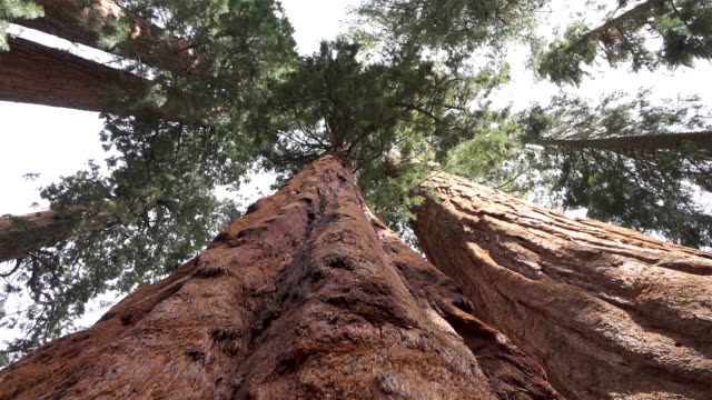 CLOSE UP: Huge sequoias trees in Sequoia national park video