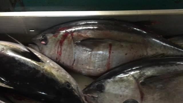 Huge tuna caught aboard a senneant tuna Enormes thons pêché à bord d'un thonnier senneur tuna seafood stock videos & royalty-free footage