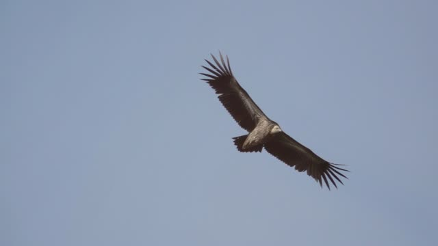 Huge vulture in flight,low angle view. Himalayan griffon soaring in clear blue sky with fully wingspan in the morning light,HD slow motion . vulture stock videos & royalty-free footage