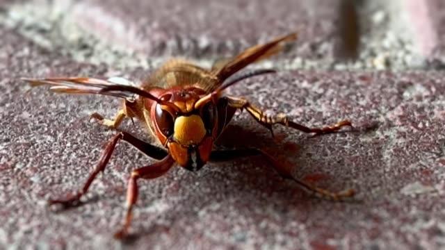 riesige wespe auf dem boden - hornisse stock-videos und b-roll-filmmaterial