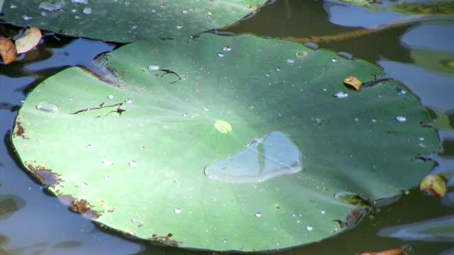Huge Water Lily Plant Floating (NTSC_link_below) video