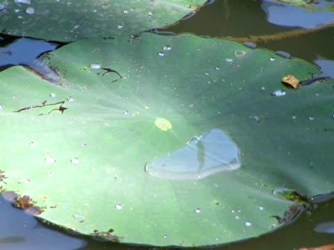Huge Water Lily Plant Floating (HD_link_below) video