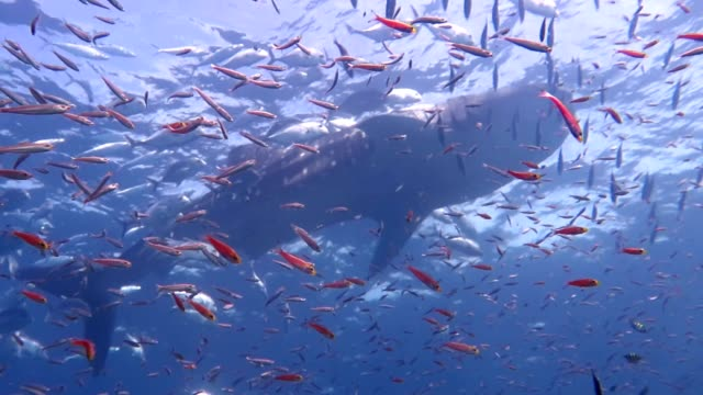 huge whale shark swimming in the andaman sea with lots of small fish.