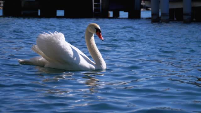 riesiger weißer schwan schwimmt in einem klaren bergsee mit kristallklarem blauem wasser. schweiz - schwan stock-videos und b-roll-filmmaterial