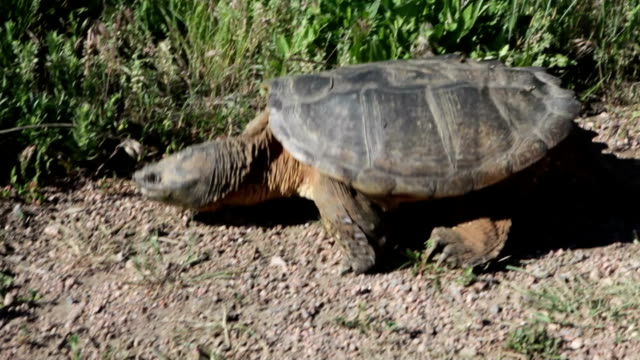 Huge wild snapping turtle walking outside Denver Colorado A very large snapping turtle, more than two feet long, walks along the path, plowing through grass and plants at Harriman Reservoir near Bear Creek Lake State Park Colorado in Lakewood Colorado, just outside Denver. snapping turtle stock videos & royalty-free footage