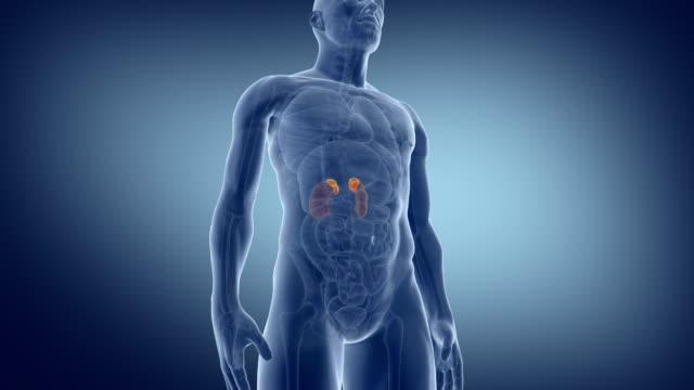 human adrenal. medically accurate animation of the adrenals. - tułów filmów i materiałów b-roll