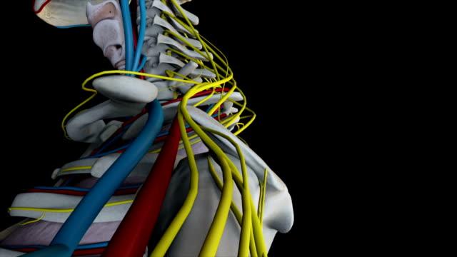 Human Anatomy (Male) 02 video