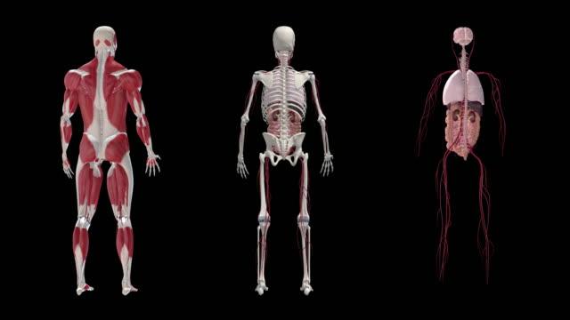 mänskliga kroppen anatomi loop - lem kroppsdel bildbanksvideor och videomaterial från bakom kulisserna