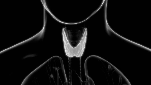mänskliga kroppen körtlar anatomi (sköldkörteln) - djurkropp bildbanksvideor och videomaterial från bakom kulisserna