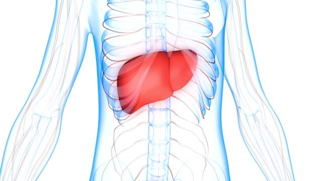 vídeos de stock e filmes b-roll de human body organs (liver with nervous system) anatomy - veia