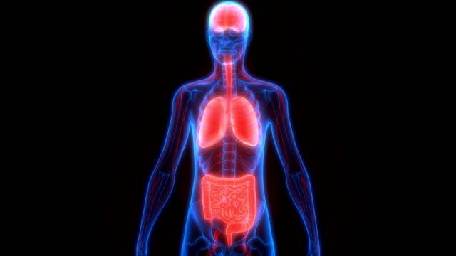 Human Body Organs Anatomy 3D Illustration of Human Body Organs Anatomy heart internal organ stock videos & royalty-free footage