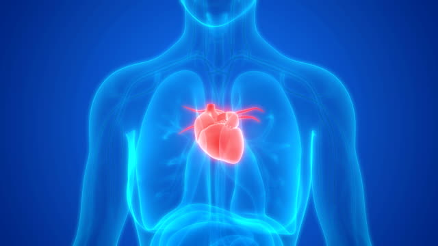 Human Body Organs Heart Anatomy Stock Video More Clips Of 4k