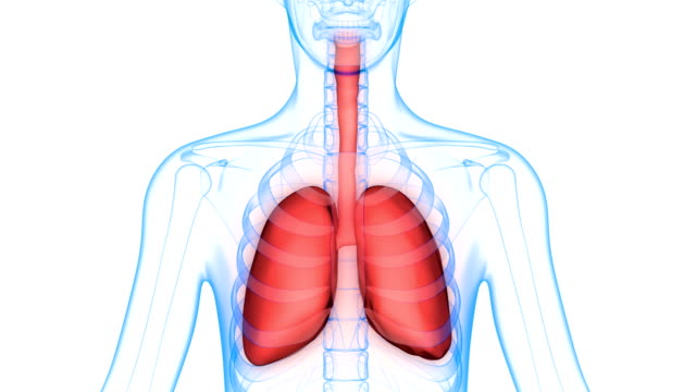Human Body Organs (Lungs Anatomy) 3D Illustration of Human Body Organs (Lungs Anatomy) animal body stock videos & royalty-free footage