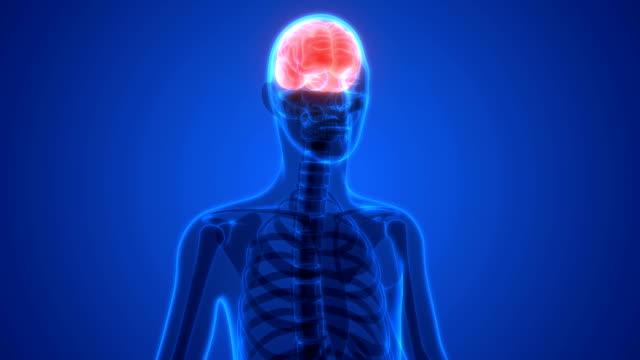 Human Brain Anatomy 3D Illustration of Human Brain Anatomy heart internal organ stock videos & royalty-free footage