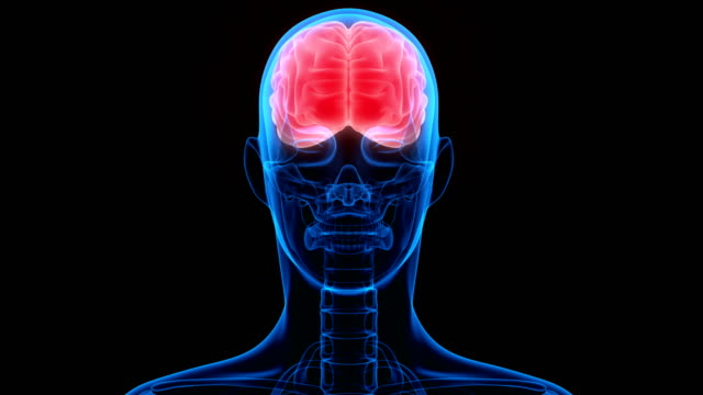 Human Brain Anatomy 3D Illustration of Human Brain Anatomy cerebellum stock videos & royalty-free footage