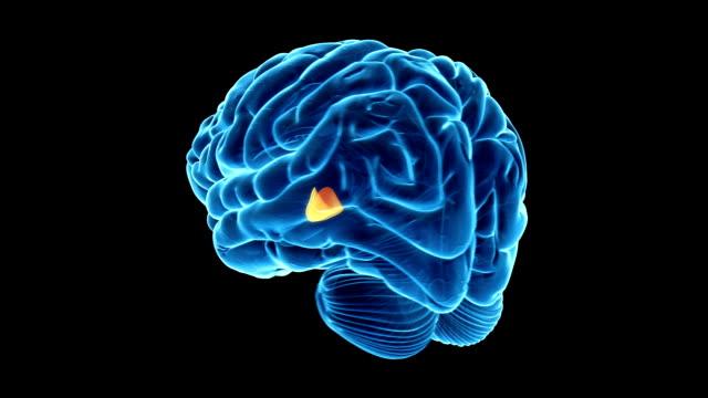vídeos y material grabado en eventos de stock de cerebro humano-hipotálamo - telencéfalo