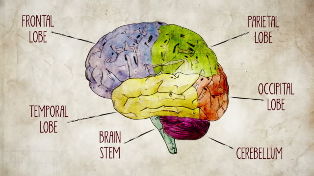 human brain parts - drawing activity stock videos & royalty-free footage