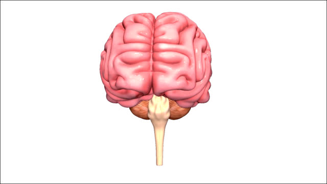 Human Brain The human brain has many properties that are common to all vertebrate brains, including a basic division into three parts called the forebrain, midbrain, and hindbrain, each with fluid-filled ventricles at their core, and a set of generic vertebrate brain structures including the medulla oblongata, pons, cerebellum, optic tectum, thalamus, hypothalamus, basal ganglia, olfactory bulb, and many others. cerebellum stock videos & royalty-free footage