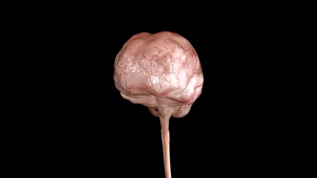 Human Brain The human brain has many properties that are common to all vertebrate brains, including a basic division into three parts called the forebrain, midbrain, and hindbrain. cerebellum stock videos & royalty-free footage