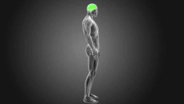 vídeos de stock e filmes b-roll de human brain with anatomy - cerebelo