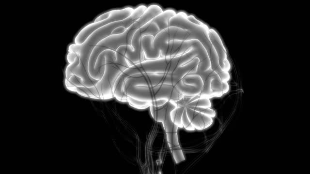 Human Brain with Circulatory System Anatomy 3D Illustration of Human Brain with Circulatory System Anatomy animal body stock videos & royalty-free footage