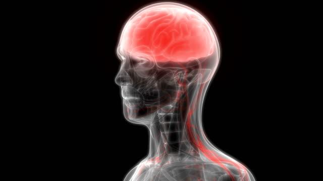 Human Brain with Circulatory System Anatomy