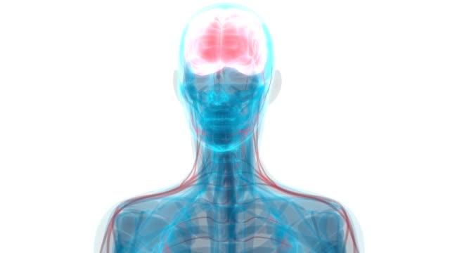 vídeos de stock e filmes b-roll de human brain with circulatory system anatomy - artéria