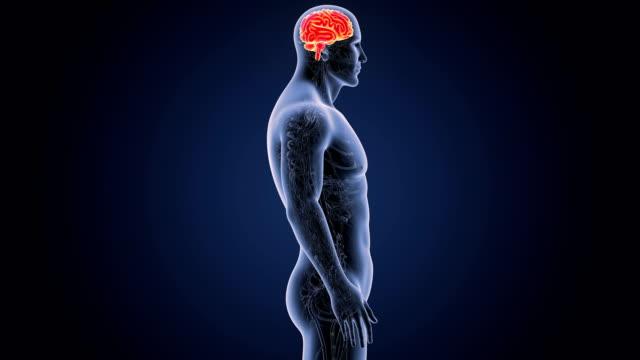 vídeos de stock e filmes b-roll de human brain with circulatory system - cerebelo