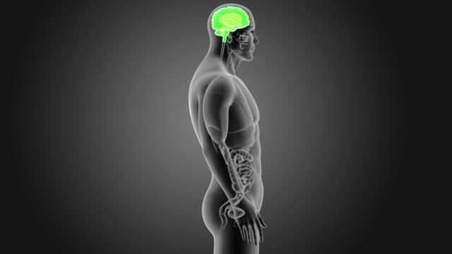 vídeos de stock e filmes b-roll de human brain with organs - cerebelo