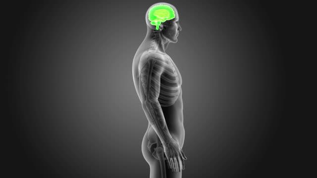 vídeos de stock e filmes b-roll de human brain with skeleton - cerebelo