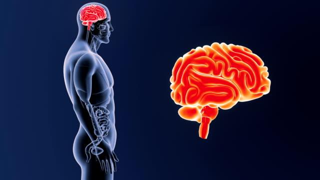 vídeos de stock e filmes b-roll de human brain zoom with organs - cerebelo