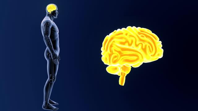 vídeos de stock e filmes b-roll de human brain zoom with skeleton - cerebelo